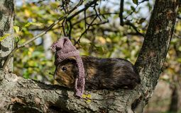 Guine-Schwein trägt gestrickten Schal und Schale - Herbstszene stockfotografie