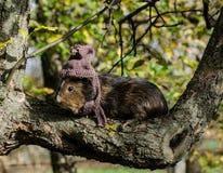 Guine-Schwein trägt gestrickten Schal und Schale - Herbstszene lizenzfreie stockbilder