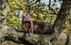 Guine-Schwein trägt gestrickten Schal und Schale - Herbstszene lizenzfreie stockfotos