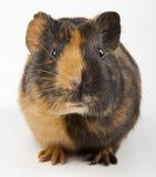 guinea över pigwhite Royaltyfri Fotografi