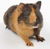 guinea över pigwhite Royaltyfria Foton