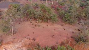 Guinea babianer i deras naturliga livsmiljö på Wassadou i Senegal arkivfilmer