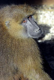 Guinea Baboon Royalty Free Stock Photography