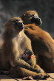 Guinea baboon Royalty Free Stock Photos