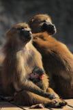 Guinea baboon Royalty Free Stock Photos