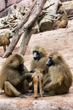 Guinea baboon family Stock Photography