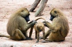 Guinea baboon family (Papio papio) Royalty Free Stock Photo