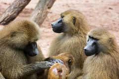 Guinea baboon family Royalty Free Stock Photo