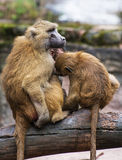 Guinea baboon family photo Royalty Free Stock Photo