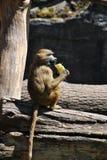 Guinea baboon monkey enjoying it's lunch stock photography