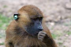 Guinea Baboon (Papio hamadryas papio) stock images