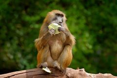 Guinea baboon, Papio papio, monkey from Guinea, Senegal and Gambia. Wild mammal in the nature habitat. Monkey feeding fruits in th royalty free stock photos
