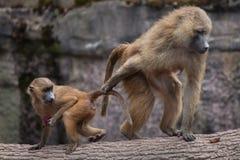 Guinea baboon (Papio papio). Stock Photo