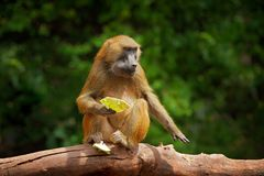 Guinea baboon, Papio papio, monkey from Guinea, Senegal and Gambia. Wild mammal in the nature habitat. Monkey feeding fruits in th stock image