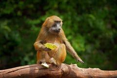Guinea baboon, Papio papio, monkey from Guinea, Senegal and Gambia. Wild mammal in the nature habitat. Monkey feeding fruits in th. E gren vegetaton. Wildlife stock image