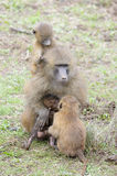 Guinea baboon (Papio papio) mother with baby Royalty Free Stock Photos