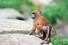 Guinea Baboon (papio papio) Royalty Free Stock Images