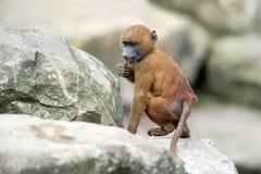 Guinea Baboon (papio papio) Stock Image