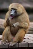 Guinea baboon (Papio papio). Royalty Free Stock Image
