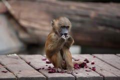 Guinea baboon Papio papio. Stock Images