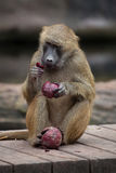 Guinea baboon Papio papio. Royalty Free Stock Photography