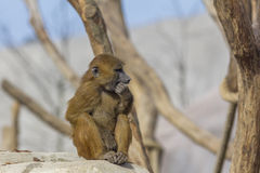 Guinea Baboon picking its teeth Royalty Free Stock Photography