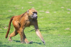 Guinea baboon. The strolling guinea baboon in the grass royalty free stock photography