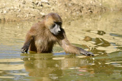 Guinea baboon in water. Guinea baboon (Papio papio) walking in the water royalty free stock images