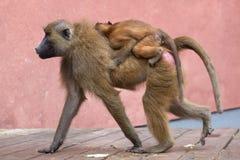 Guinea baboon & x28;Papio papio& x29;. Stock Image