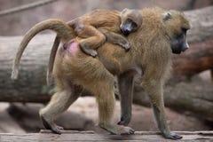 Guinea baboon (Papio papio). Royalty Free Stock Photo