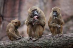 Guinea baboon (Papio papio). Stock Image