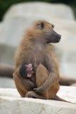 Guinea baboon (Papio papio). Royalty Free Stock Photos
