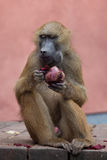 Guinea baboon (Papio papio). Royalty Free Stock Images