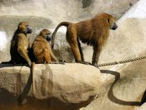 Guinea baboons on rock Stock Image