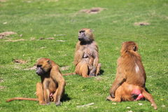 Guinea baboons Royalty Free Stock Photography