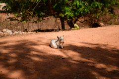 Guinea Bissau, Bubaque Island sheep on the red sand. Beautiful islands in the Bijagos Archipelago, warm sandy sunny beaches, warm water, wonderful nature, a royalty free stock photo