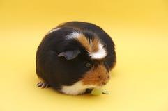 Guinea che mangia uva Immagini Stock