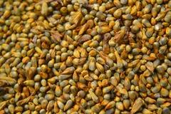 Guinea Corn Grain Closeup 2. A close up photo of fresh guinea corn grain stock images