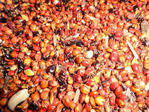 Guinea corn seeds. Background pattern stock photo
