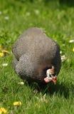 Guinea dei gallinacei Fotografie Stock Libere da Diritti