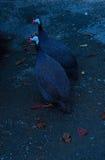 Guinea due dei gallinacei Fotografia Stock Libera da Diritti