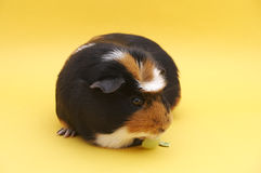 Guinea Eating Grape. Guinea Eating on yellow background stock images
