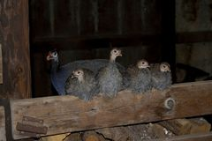 Guinea Family. A family of guineas and keets Stock Images