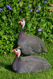 Guinea fowl Royalty Free Stock Image