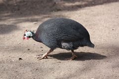Guinea fowl. In the zoo Stock Images