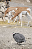 Guinea fowl. At the zoo royalty free stock photography