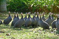 Free Guinea Fowl Stock Image - 42462741