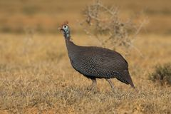 Guinea Fowl. On the African grass plains Stock Photo