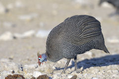 Guinea-fowl. Africa Namibia , Etosha National Park, helmeted guinea-fowl Royalty Free Stock Photo
