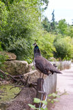Guinea fowl Africa Stock Photo